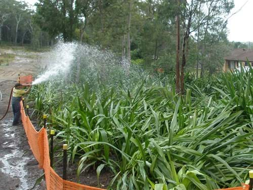 Maintenance of Doryanthes in holding nursery